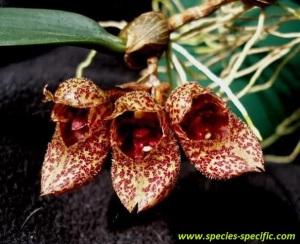 Bulbophyllum_frostii
