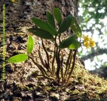 Dendrobium_harveyanum01