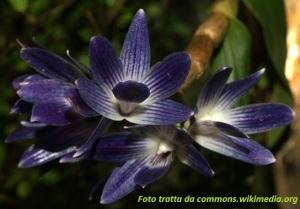 Dendrobium_victoriae_reginae