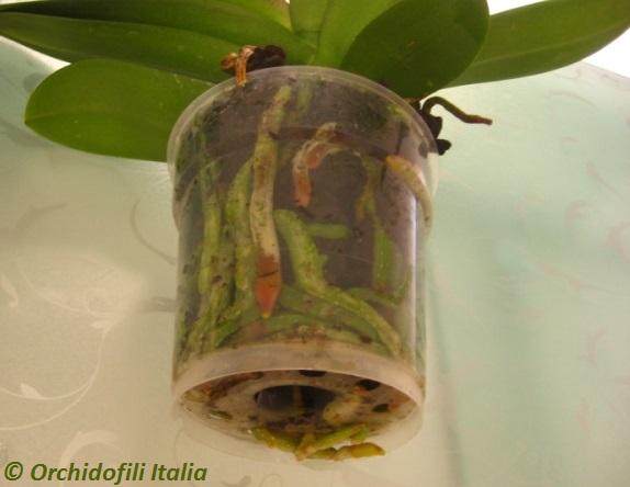 Bagnatura Orchidee Quando E E