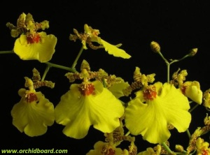Oncidium_Sweet_Sugar