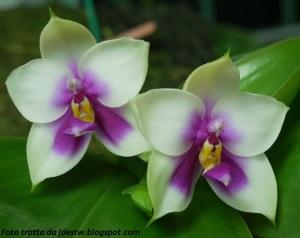 Phalaenopsis_bellina