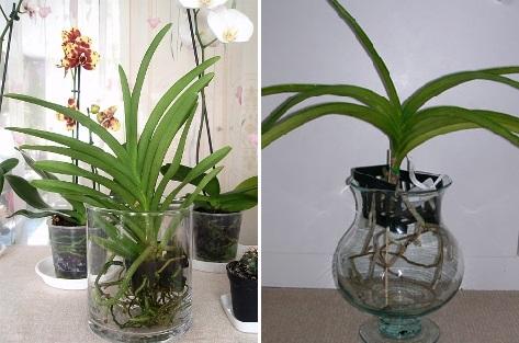 Vanda orchidofili italia for Vaso orchidea