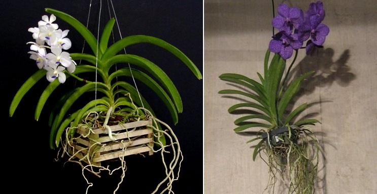 Vanda | Orchidofili Italia