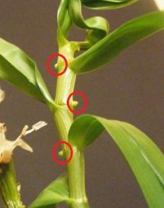 Dendrobium_nobile_flower