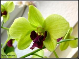 Dendrobium_phalaenopsis
