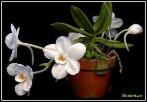 Amesiella_philippinensis