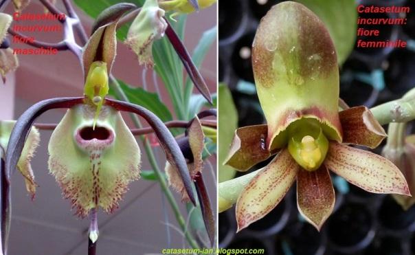 Catasetum_fiori