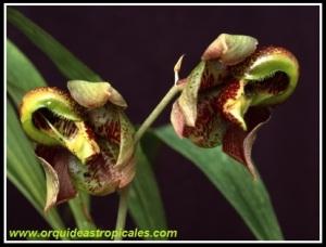 Catasetum_maculatum