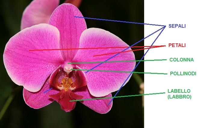 L anatomia di orchidee orchidofili italia for Semi orchidea