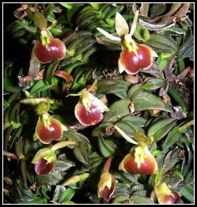 Epidendrum_peperomia