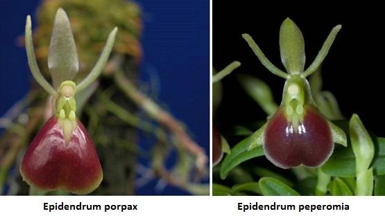 Epidendrum_porpax