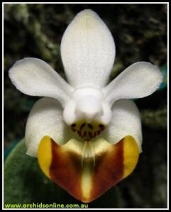 Phalaenopsis_lobbii