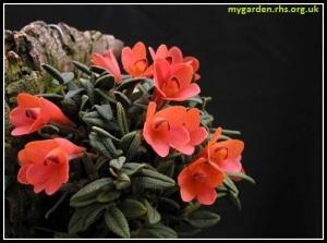 Dendrobium_cuthbertsonii