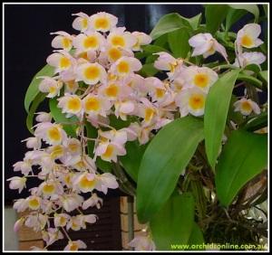 Dendrobium_farmeri