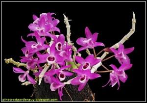 Dendrobium_parishii