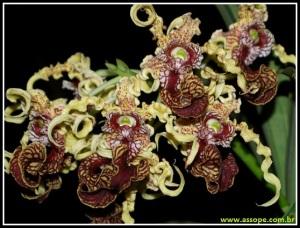 Dendrobium_spectabile