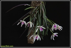 Leptotes_bicolor