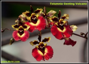 Tolumnia_Genting_Volcano
