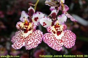 Tolumnia_Jairak_Rainbow_KOK_30