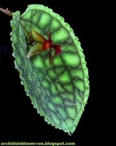 Lepanthes_calodictyon1
