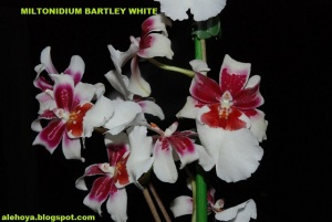 Miltonidium_Bartley_White