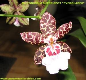 Miltonidium_Super_Spot_Everglades