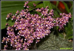 Oncidium_ornithorhynchum