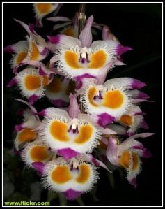 Dendrobium_devonianum