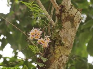 Dendrobium_devonianum2