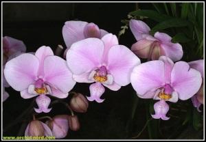 Phalaenopsis_schilleriana