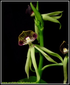 Prosthechea_cochleata