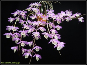 Dendrobium_aphyllum