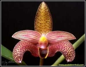 Bulbophyllum_sumatranum