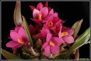 Dendrobium_laevifolium