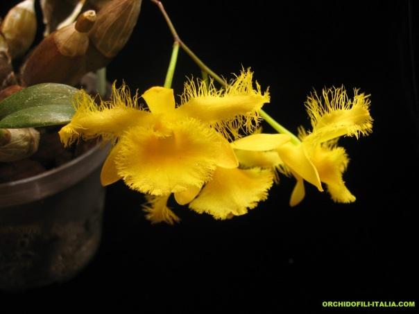 Dendrobium_harveyanum