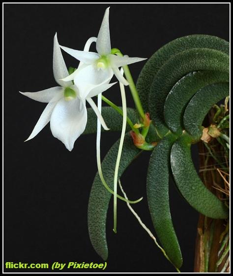 Risultati immagini per Angraecum aloifolium